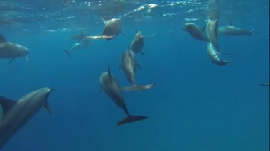 Swim and with many dolphins — Stock Video