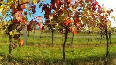 Colored wine leaves in autumn — Stock Video