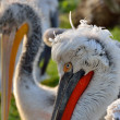 Curly head pelicans in a zoo — Stock Photo #60714697