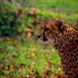 Leopard with green background — Stock Photo #60714843