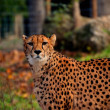 Leopard looking at the camera — Stock Photo #60714863