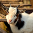 Goat looking at the camera — Stock Photo #60715571