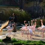 Warden feeds flamingos — Stock Photo #60715991