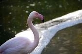 Flamingo looks — Stock Photo