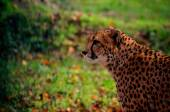 Leopard with green background — Stock Photo