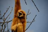 Singe sur l'arbre — Photo