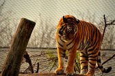 Tiger in a zoo — Stock Photo