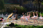 Warden feeds flamingos — Stock Photo