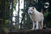 White wolf stands — Stock Photo