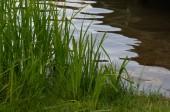 Gras am Seeufer — Stockfoto
