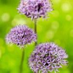 Herbal Garden - flowering garlic in the garden — Stock Photo #67422931