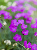 Summer garden - pink perennial flowers in the garden — Stock Photo