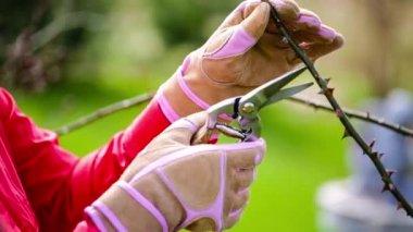Spring pruning roses — Stock Video