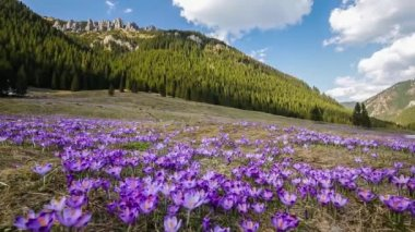 Spring crocuses in Tatra Mountains, Poland — Stock Video