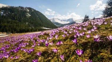 Croco della sorgente in montagne di Tatra, Polonia — Video Stock