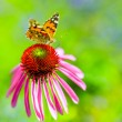 Colorful butterfly on flower purple coneflower (Echinacea) — Stock Photo #80345426