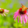Colorful butterfly on flower purple coneflower (Echinacea) — Stock Photo #80345446
