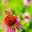 Colorful butterfly on flower purple coneflower (Echinacea) — Stock Photo #80345472