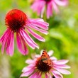 Colorful butterfly on flower purple coneflower (Echinacea) — Stock Photo #80345718