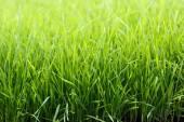 Vibrant green grass — Stock Photo