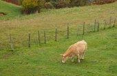корова в стране басков — Стоковое фото