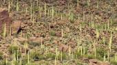 Saguaro Covered Desert Landscape — Stock Photo