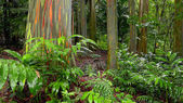 Rainbow Eucalyptus Trees in Hawaiian Rainforest — Stock Photo