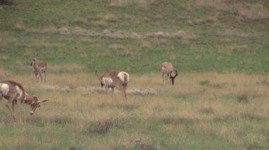 Pronghorn Antelope Herd in Rut — Stock Video
