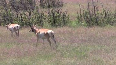 Pronghorn Antelope in Rut — Stock Video