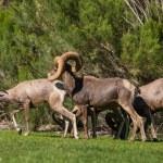 Desert Bighorn Sheep in Rut — Stock Photo #52389873