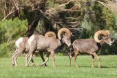 Desert Bighorn Sheep in Rut — Stock Photo