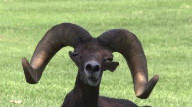 Desert Bighorn Ram Portrait — Stock Video