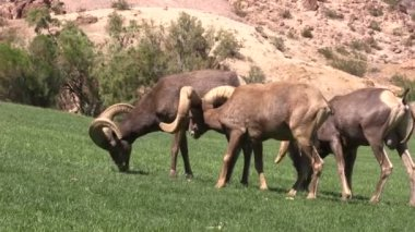 Desert Bighorn Sheep Rams — Stock Video