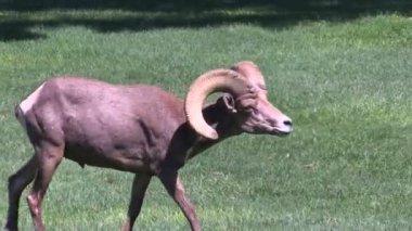 Pouštní bighornu ovce beran — Stock video
