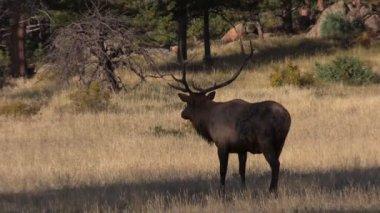 Bull Elk — Stock Video