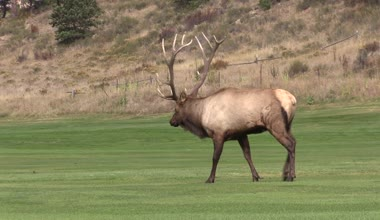 Bull Elk in Rut — Stock Video
