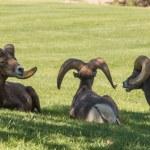 Desert Bighorn Sheep Rams — Stock Photo #56422785