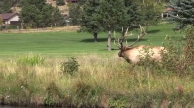 Bull Elk in Rut — Stock Video