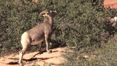 Wüste Bighorn Sheep Ewe — Stockvideo