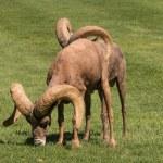 Desert Bighorn Sheep Rams — Stock Photo #58106221