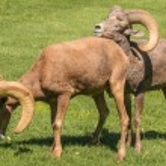 Desert Bighorn Sheep Rams — Stock Photo #58106235