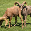 Desert Bighorn Sheep Rams — Stock Photo #58106249