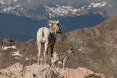 Cordeiro e a ovelha de ovelha bighorn — Fotografia Stock