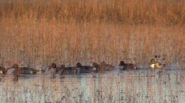 Drake Pintail Ducks — Stock Video