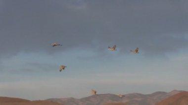 Sandhill Cranes in Flight — Stock Video