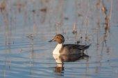 Drake Pintail Duck — Stock Photo