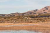 Drake Pintail Ducks Flying — Stock Photo