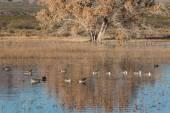 Drake Pintail Ducks — Stock Photo