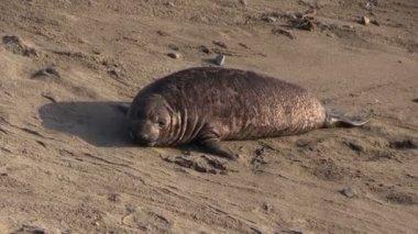 Elephant Seals on the beach — Stock Video