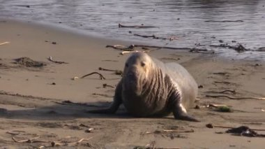 Elephant Seals on the beach — Stock Video